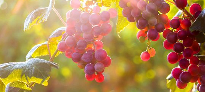 Investment in Crimean Viticulture on Steep Rise
