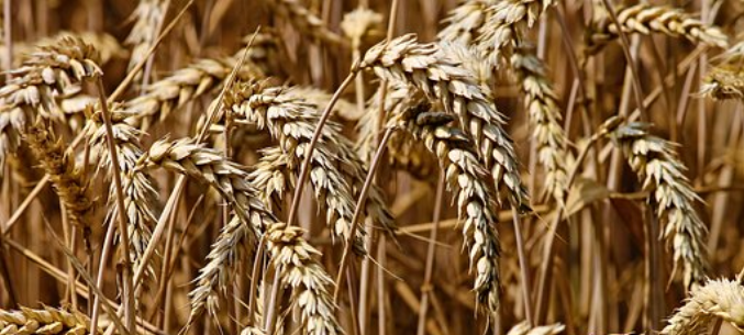 About 400 Thous. Tn Of Russian Wheat To Be Supplied To Syria